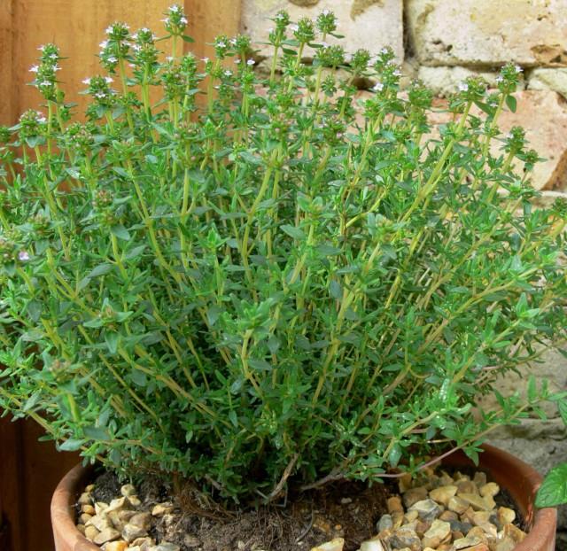 Plantas arom ticas eden garden - Plantas exterior mucho sol ...